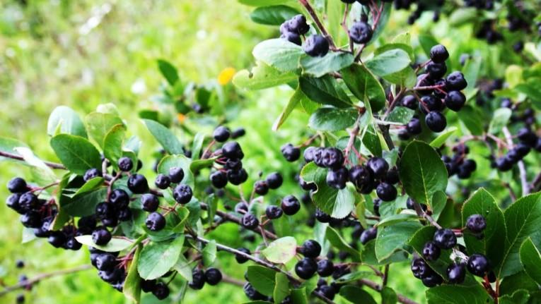 aronia berries2
